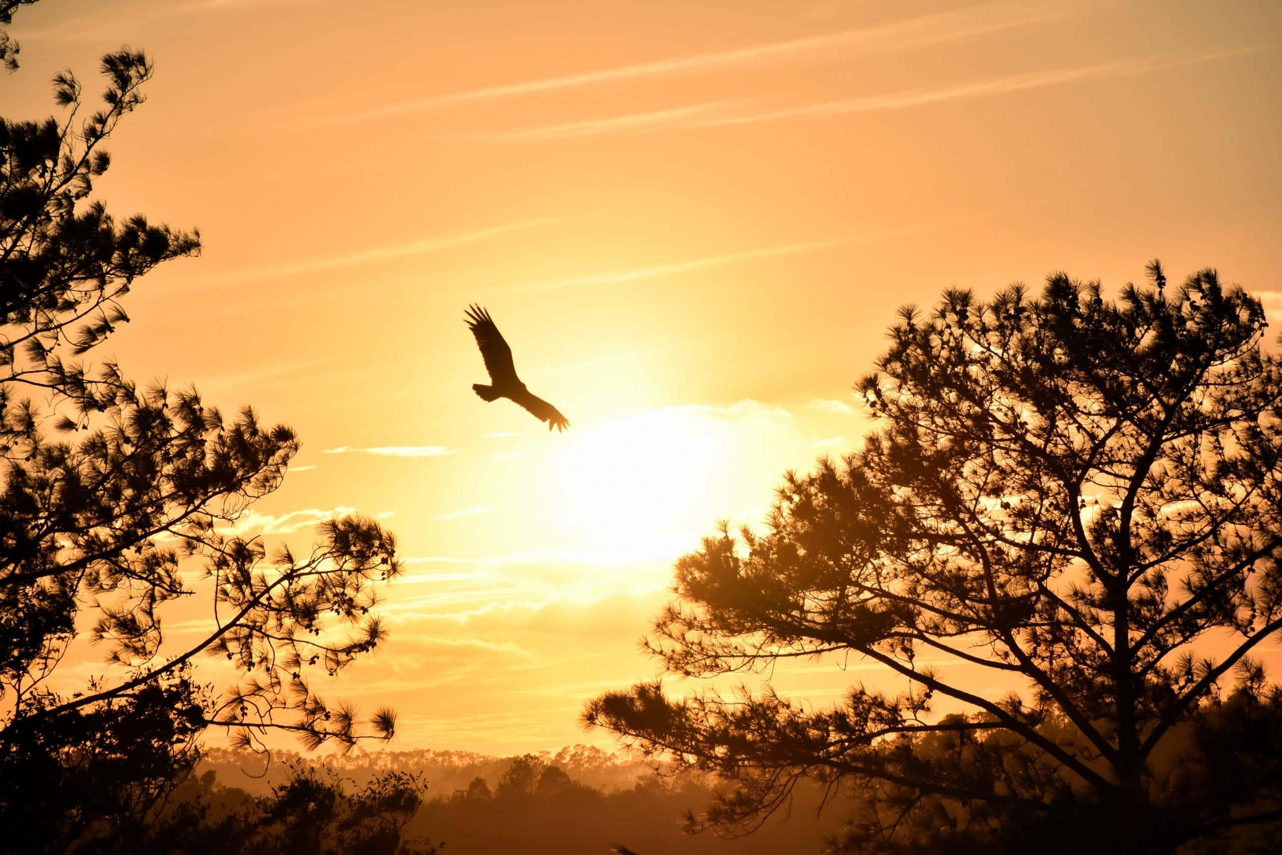 Eagle Flying Sunset